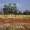 GW01780 = Poppies in South East Mallorca, Baleares, Spain. 1996. Model Release.